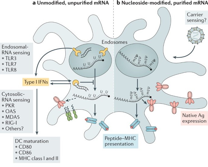 Do you want to clarification on what is mRNA?, Here you can find